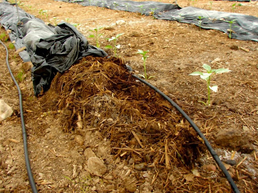 Incorporar restos vegetales al suelo para que sea más fértil. Un clásico de la agricultura ecológica